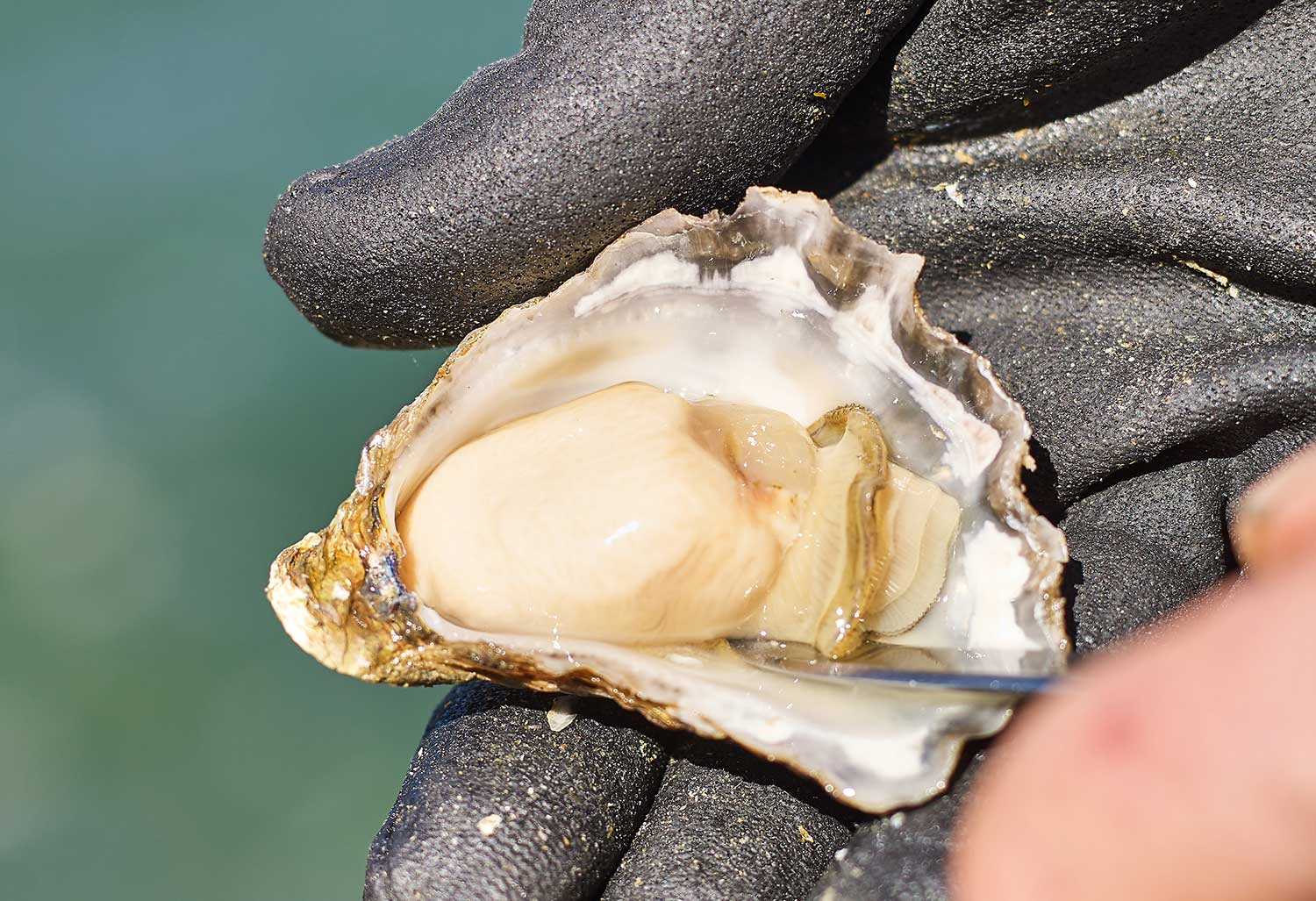 Freshly-Shucked Sydney Rock Oyster